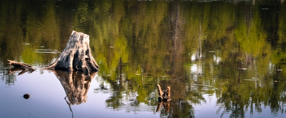 Reflections... tree stumps in still water.